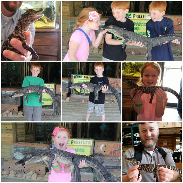Wild Florida Alligators
